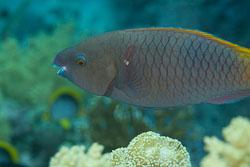 BD-150223-Sharm-6513-Cetoscarus-bicolor-(Rüppell.-1829)-[Bicolour-parrotfish].jpg